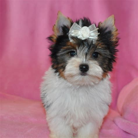yorkie puppies for sale in albuquerque parti yorkies yorkie puppies yorkie puppy yorkies for sale parti yorkie
