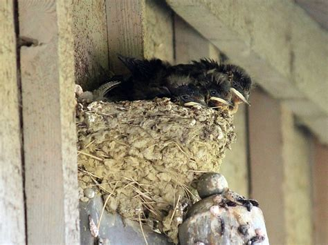 barn swallow nests seasons flow