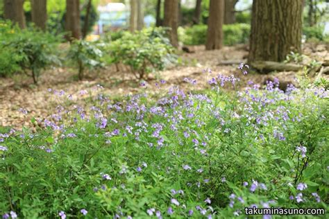 small purple flowers spread on the ground of shinjuku central park 10 hometowns for each
