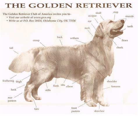 b golden retrievers golden retriever description assistedlivingcares