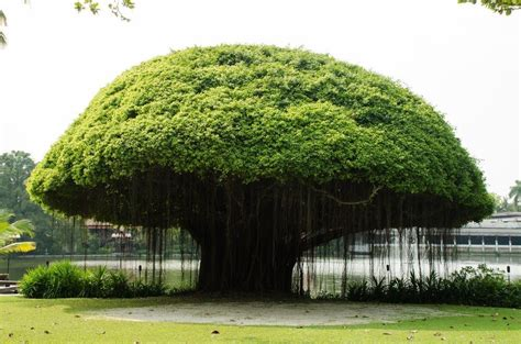 Picture Of Banyan Tree