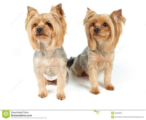 what is the best yorkie terrier shoo out there and condistioner dogs with haircut stock photo image 55368602