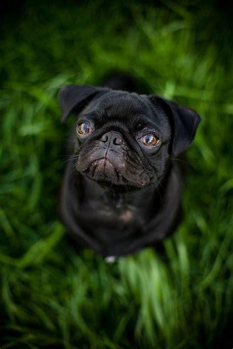 how much are black pugs black clean pug pug doggie puppy boy black fawn