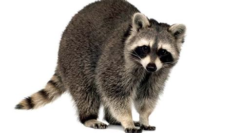 raccoons own a stunning array of skills and a non negotiable place in our local existence yet