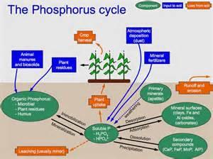 phosphorus color phosphorus cycle