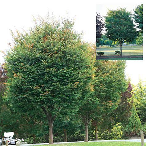 Vase Shaped Tree by Zelkova Japanese Elm Quot Green Vase Quot Perth Wa