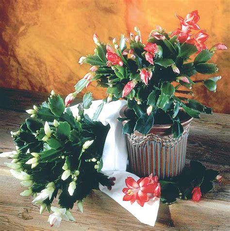 piante con fiori piante grasse con fiori coltivazione rinvaso e talea