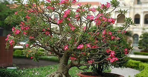 Pupuk Untuk Bunga Kamboja Jepang mengenal ciri bunga kamboja jepang