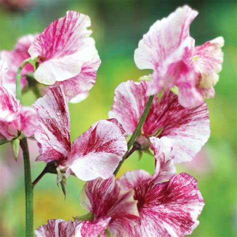 nation of gardeners results sweet pea sir henry cecil