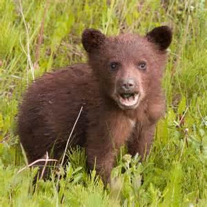 baby bear photograph etta kovalsky