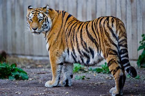 Tiger Denmark | file captive siberian tiger copenhagen zoo denmark jpg