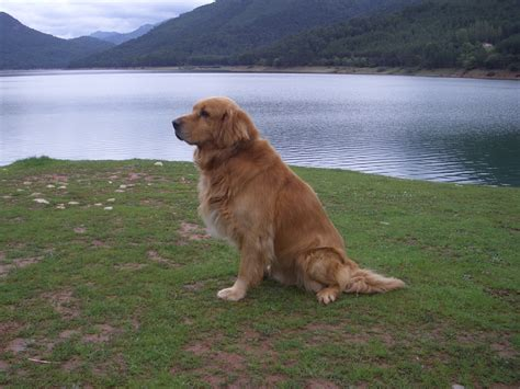 breed golden retriever golden retriever wallpapers hd