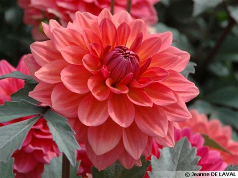 Cp Dahlia des dahlias label