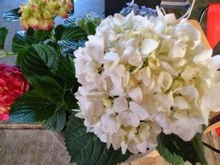 significato fiore ortensia ortensia significato ortensia significato dell orchidea