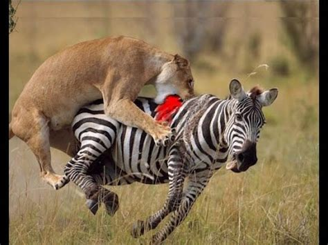 angry attacks angry zebra attack animals attack hd