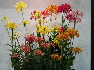 Birth Flower For November - what is your birth orchid november epidendrum