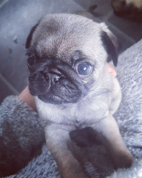 pug puppies for sale in lancashire pug puppies for sale blackburn lancashire pets4homes