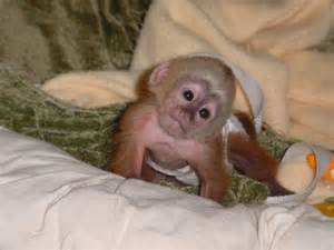 capuchin monkeys and other monkeys for adoption ireland ad submit free classifieds post