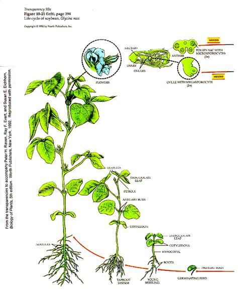 bean plant diagram bean seedling diagram bean get free image about wiring