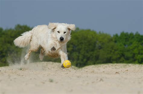 golden retriever fur free photo golden retriever play fur free image on pixabay 672832