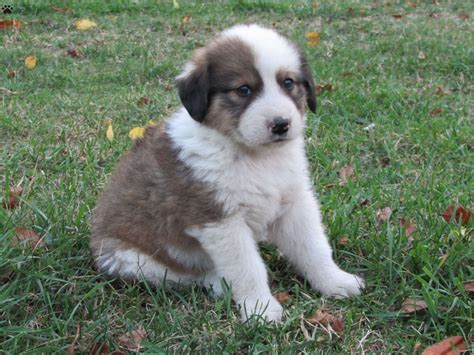 pyrenees mix puppies mack great pyrenees mix puppy for sale in pennsylvania