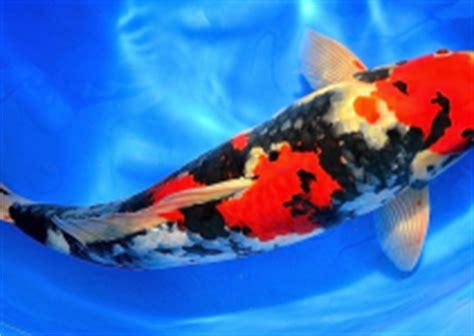 Bibit Ikan Koi Parung jenis makanan dan cara pemberian pakan ikan koi yang bagus