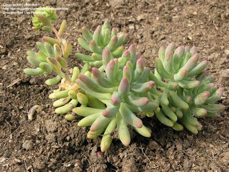 Jelly Bean Garden by Plantfiles Pictures Sedum Species Stonecrop Many