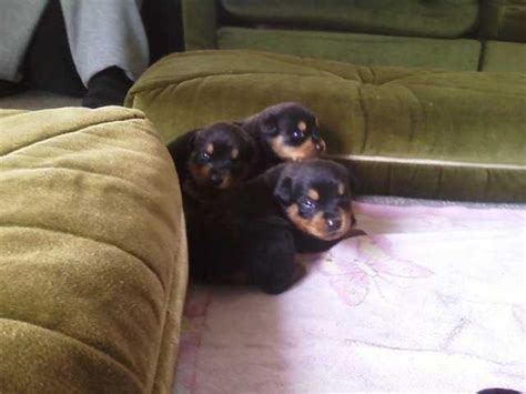 rottweiler for sale nz rottweiler pups for sale for sale adoption from turangi bay of plenty adpost
