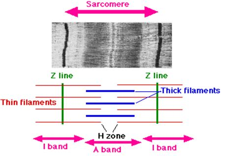 labeled sarcomere diagram sarcomere biology dictionary
