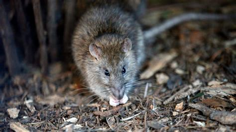 oh rats are rodents on the rise in canada ctv news