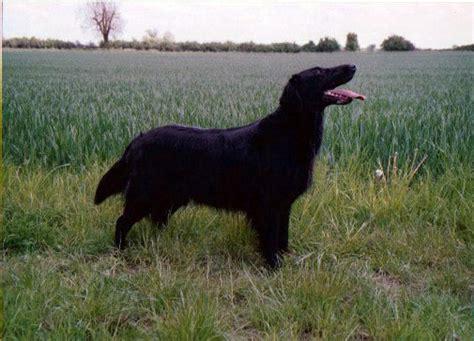 flat coated retriever excellence razas 842551357x mandara par excellence chien de race toutes races en tous