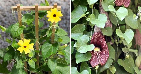 five favorites climbing plants vines the blog at terrain