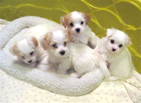 havanese puppies indiana havanese puppies