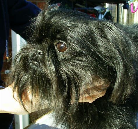 affenpinscher puppies for sale affenpinscher puppies for sale images