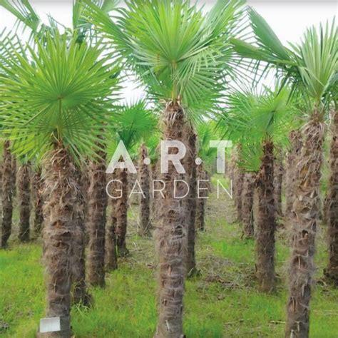 Chamaerops Excelsa Taille Adulte by Palmier Chamaerops Arbre 224 Feuillage Persistant Pour Jardin