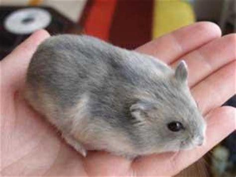 Baru Animal Island Tas Mini Tali Animal Island Terlengkap Murah just for by enysuryo types of hamsters hamster