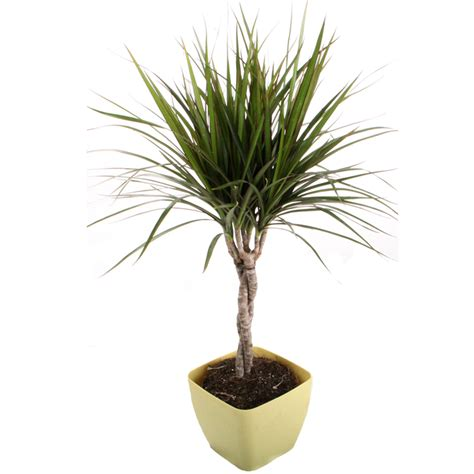 dracaena marginata a beautiful branched plant florastore dracaena marginata shop dracaena marginata green braid in