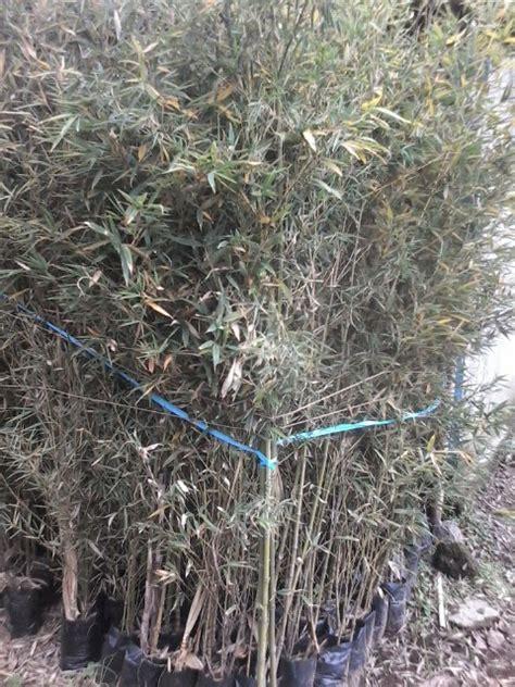 Bibit Bambu Hitam jual bibit bambu jepang jual rumput gajah mini rumput