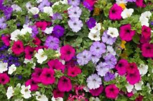 petunia dwaft mix color 5000 seeds flowers great
