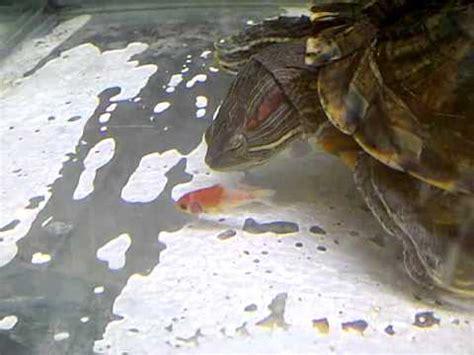 Makanan Kura Kura Sanyu 39gr makanan untuk kura kura semua jenis binatang peliharaan