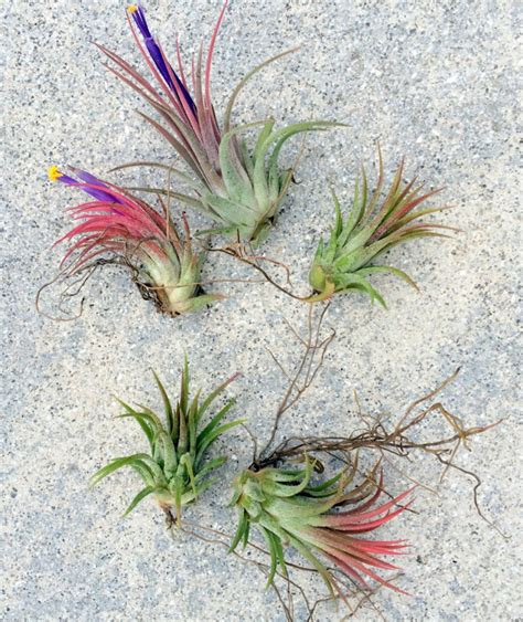 air plants where to buy air plants online