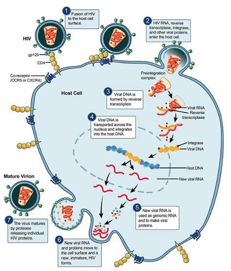 diagram of hiv virus image gallery hiv diagram
