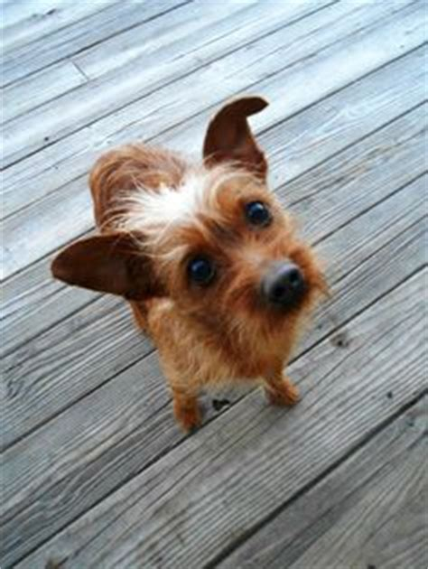 how often should you bathe a yorkie 1000 images about chorkies on terrier yorkie and chihuahua mix