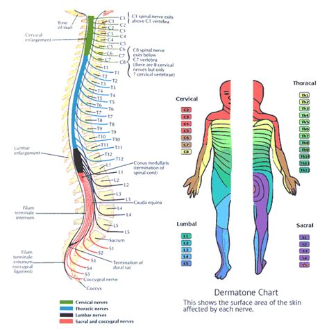 diagram of spine and nerves spine and nerve diagram 28 images diagram of lumbar