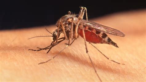 mosquito danger warning yellow fever dengue fever mynewsla com