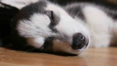husky puppy sleeping siberian husky puppy sleeping cuteness chronicles