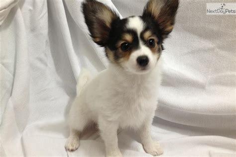 free puppies medford oregon papillon puppy for sale near medford ashland oregon 8de2fc5f e491