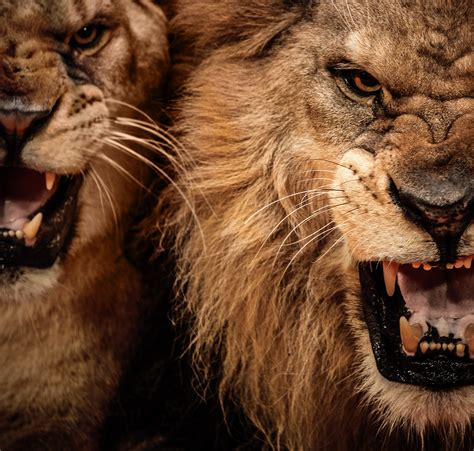 lions roar lion hd wallpapers lion hd pictures free download hd