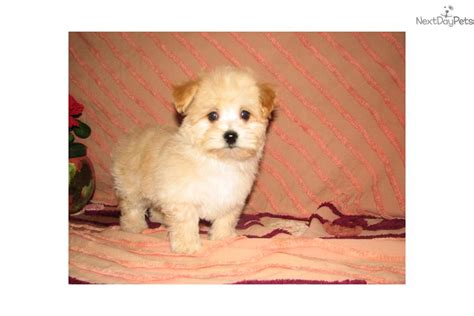 small dogs for sale near me morkie yorktese puppy for sale near arbor michigan f7b673e3 c081