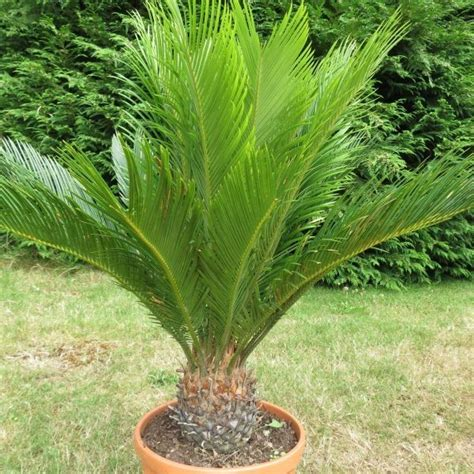 Glow In The Dark Plants by Cycas Revoluta Sago Palm
